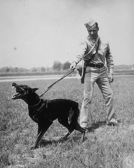 1944 Doberman War Dog Training Military Working Dogs