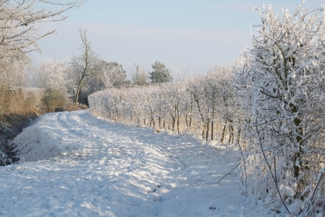 Snow and frost covered hedgerow.
