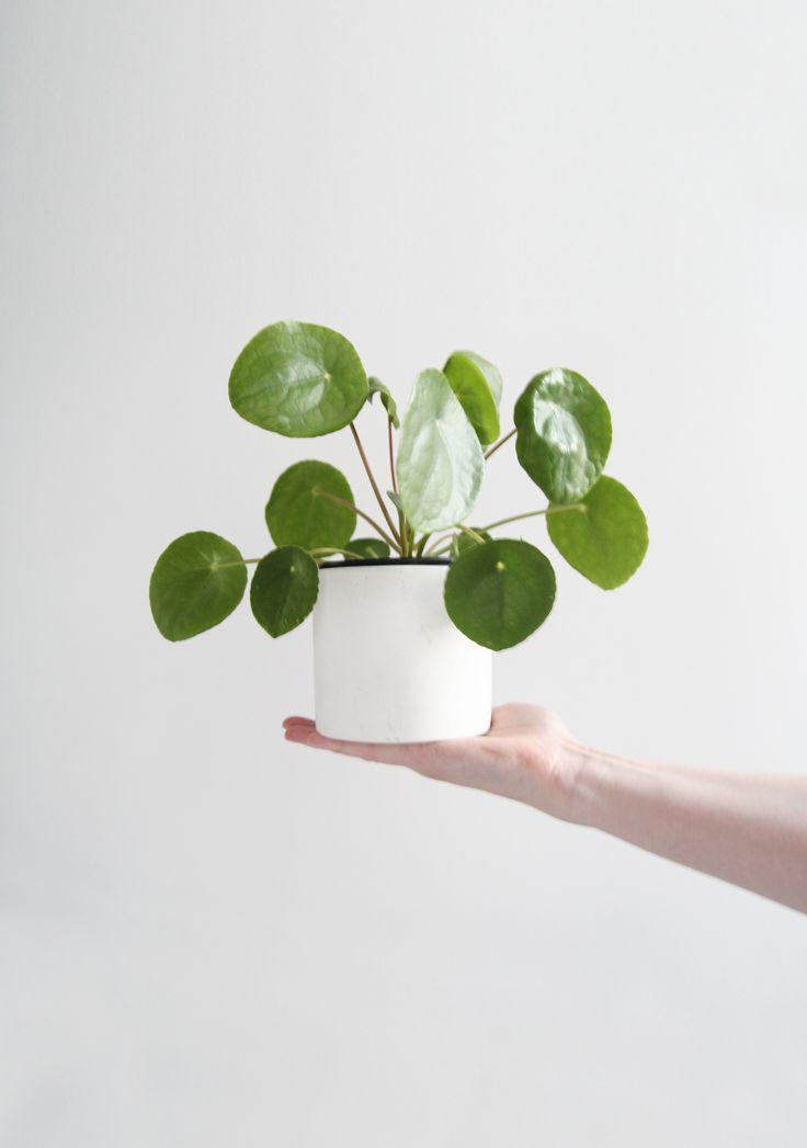 De pannenkoekenplant of Chinese money plant. Hopelijk brengt deze een beetje geluk! :-)