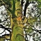 De eucalyptusboom: de positieve eigenschappen van eucalyptus olie, Neusverkoudheid, strottenhoofdontsteking, Heesheid, bijholteontsteking, keelpijn, amandelontsteking, Mondslijmvliesontsteking, Bronchitis, hoest, verkoudheden, Insectenbeten, slecht genezende wonden en brandwonden, Slechte adem, foefor ex ore of stinkneus, slechte adem kan door alle ademhalingsorganen, ook in de keel, ontstaan, Spierpijn, overbelaste spieren, kneuzingen, verstuikingen, Het weren van insecten.