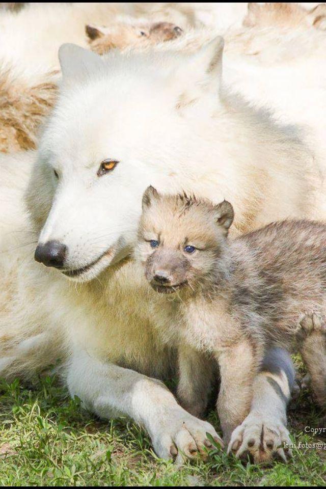 Een prachtig voorbeeld van Kalmerende Signalen bij een wolf met haar jong.