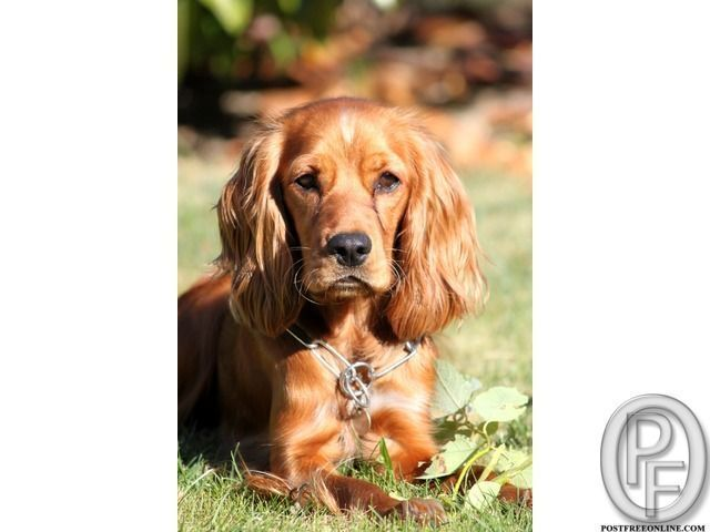 English Cocker Spaniel Puppies For Sale In Mumbai Maharashtra India In Pet Animals And With Images Spaniel Puppies Cocker Spaniel Puppies English Cocker Spaniel Puppies
