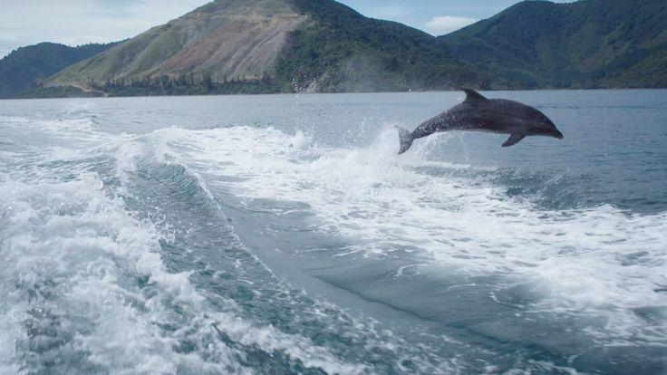 Bottlenose Dolphins, Marlborough Sounds