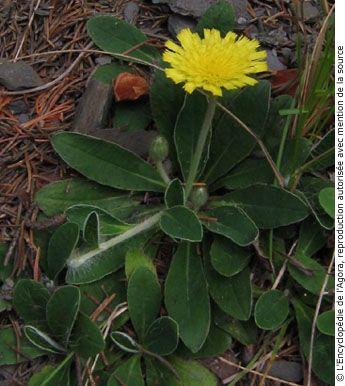 Épervière piloselle (Hieracium pilosella).  Famille :  Astéracée.