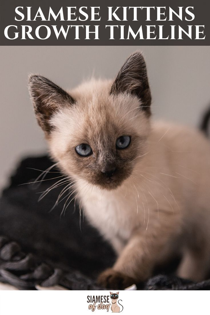 Siamese Kittens Growth Timeline Siamese Of Day In 2020 Siamese Kittens Kittens Cats