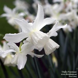 Thalia - Narcissus