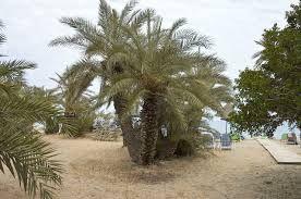 Kuvahaun tulos haulle palmu