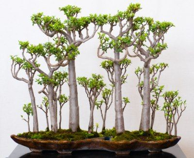 Jade Plant Bonsai Forest by drought-smart-plants #Bonsai #Jade_Plant