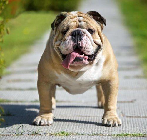 English Bulldog Pet Insurance | Pet Insurance Quotes