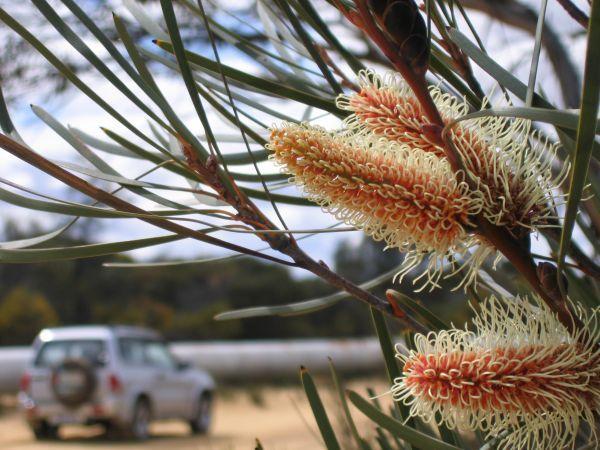 See flowering hakea in the wildflower season