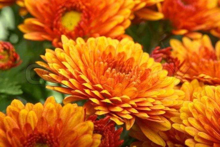 Stock Bild von 'Orange Chrysantheme Blume'