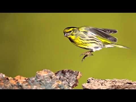 cante de jilguero reclamo - YouTube