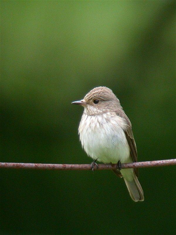 Spotted Flycatcher (Muscisapia striata)
