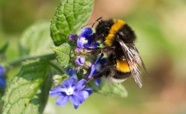 Das Bienensterben ist in aller Munde, aber auch die Hummeln sind zunehmend bedroht. Im Hochsommer findet man oft zahlreiche tote Insekten unter Linden und anderen Pflanzen. Wir erklären die Ursachen und sagen Ihnen, was Sie dagegen tun können.