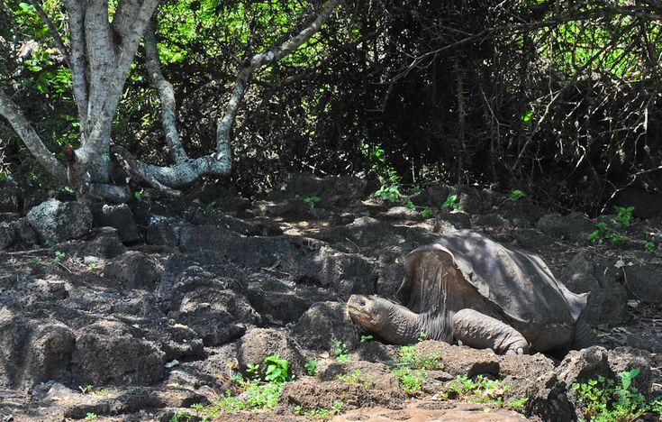 Lonesome George in Galapagos Islands  #Ecuador