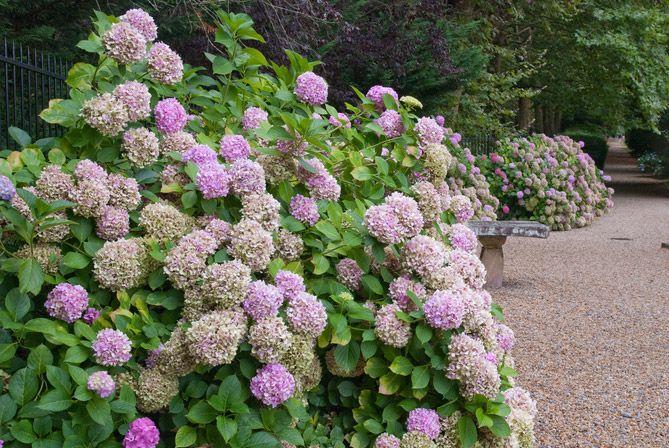 10 ideas about hydrangea care on pinterest propagating hydrangeas hydrangea garden and - Care potted hydrangea ...