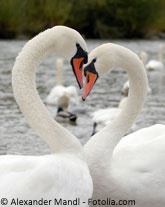 Did you know swans typically mate for life?