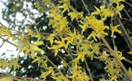 Forsythia intermedia – Goldglöckchen