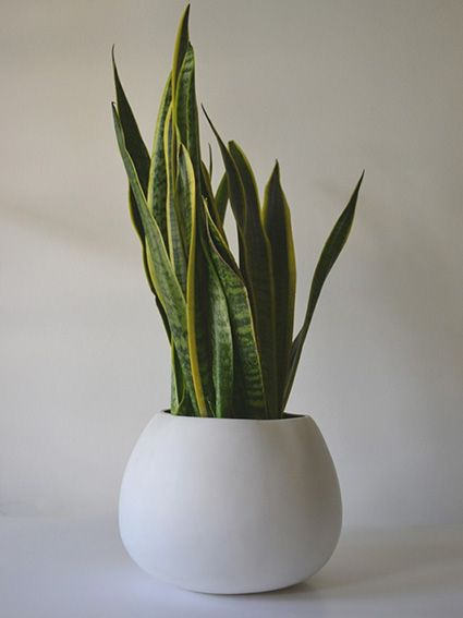Mother-In-Law's Tongue - in a white pot, looks good. Fancy name = Sansevieria trifasciata Natures Whisper | Potted Thoughts