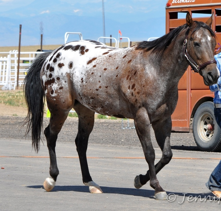 Appaloosa my most favorite breed of horse