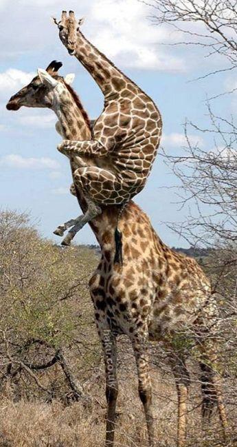 Scared giraffe