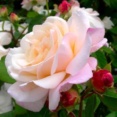 A gift from Jehovah to all mankind....we have freedom of choice. How are we using this freedom? Are we grateful to God for all his abundant gifts? Floribunda Rose 'Gruss an Aachen'
