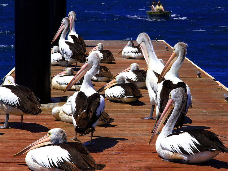 Australians Pelicans Relaxing For Little While
