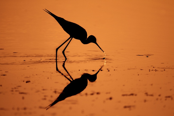 Backlight bird, backlight, riflesso, cavaliere d'italia, delta del po