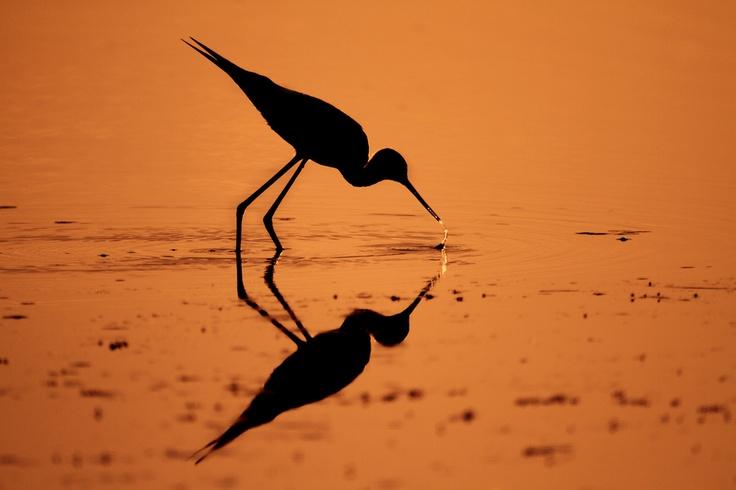 Backlight bird, backlight, riflesso, cavaliere d'italia, delta del po