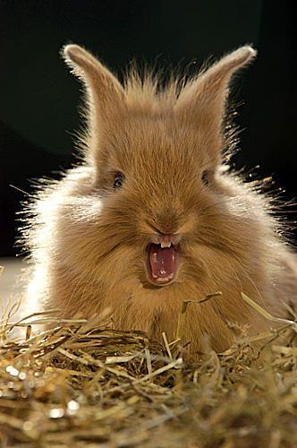 22 best rabbits yawning images on Pinterest | Animals, Funny ...