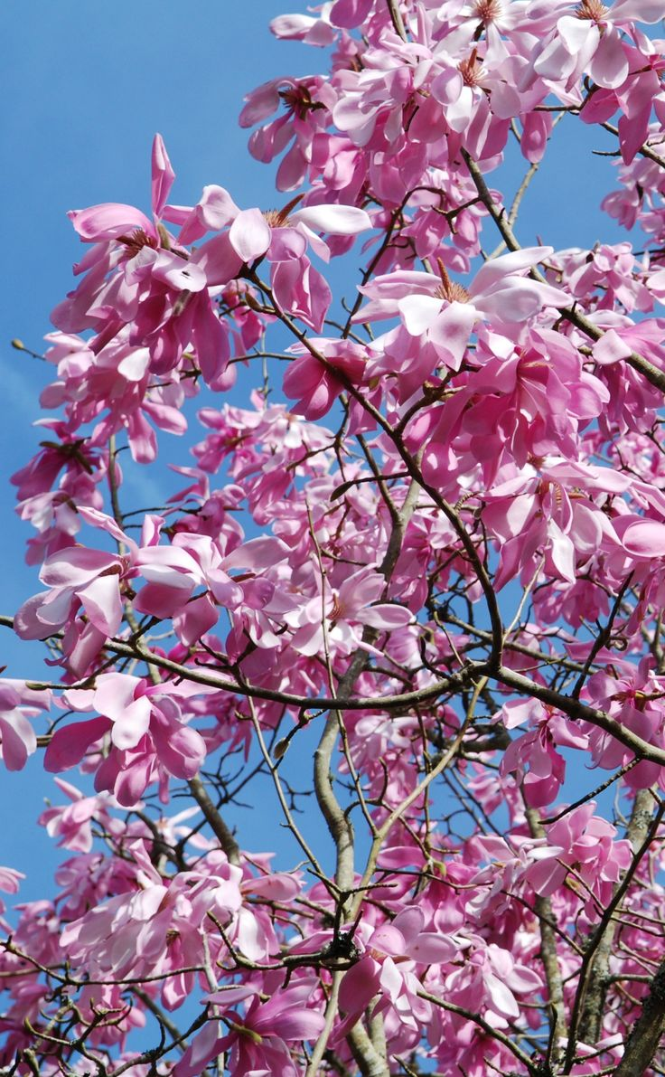 After a few days of #Cornish sunshine the deep pink flowers of #magnolia sprengeri var. diva fade to a lighter pink at #Glendurgan near #Falmouth in #Cornwall  #spring #garden #flowers