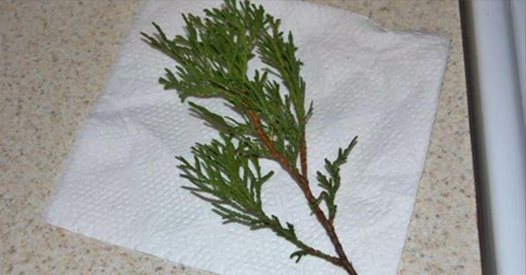 A legkönnyebb módszer a tuja szaporítására! Az élet fája!