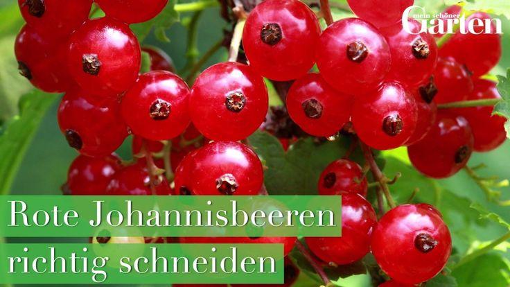 Rote Johannisbeeren Pflanzen