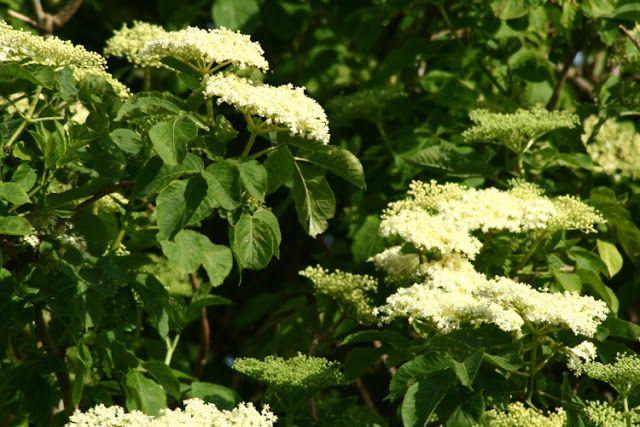 Zioła, Kwiaty i ich zastosowanie: Ocet z kwiatów czarnego bzu jako kosmetyk i lekarstwo
