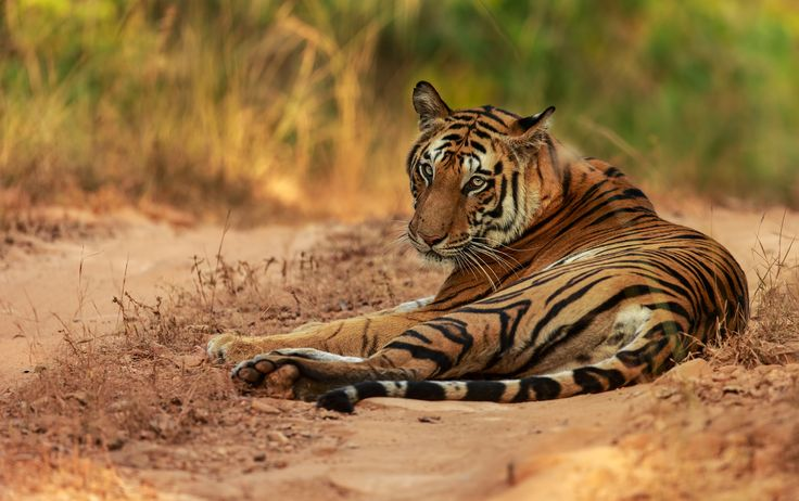 """Bandhanvgarh Tiger """"Spotty"""" - Nicknamed spotty, we ran into this female tiger relaxing on the safari track."""