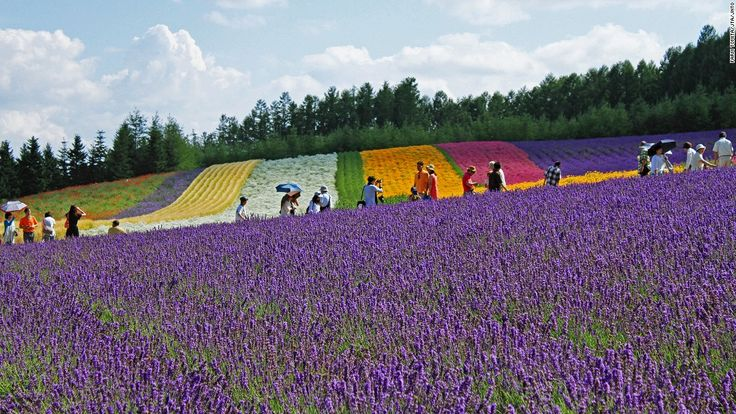 """Farm Tomita has three lavender fields: Lavender East, Sakiwai Field and the Traditional Lavender Garden. Sakiwai Field, meaning """"happiness field,"""" has four types of lavender growing in rows, creating a gradient of purple with the rainbow colors of Autumn Field, Spring Field and Hanabito Field as background. Still not enough lavender? Try the farm's lavender ice cream. http://www.farm-tomita.co.jp Farm Tomita, 15 Nakafurano Kisen Kita, Nakafurano, Sorachi, Hokkaido, Japan; +81 167 39 3939"""