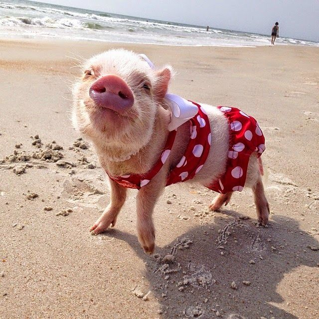 Meet Priscilla: The #Prettiest Mini #Pig On Instagram #cute