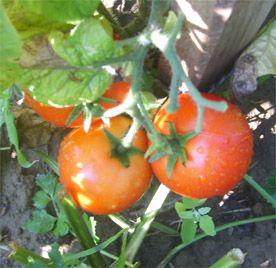 Minden amatőr kertész rémálma a paradicsomvész, mert a legagresszívebb gombás betegség, megtámadja a burgonyát, a paprikát és a padlizsánt is.