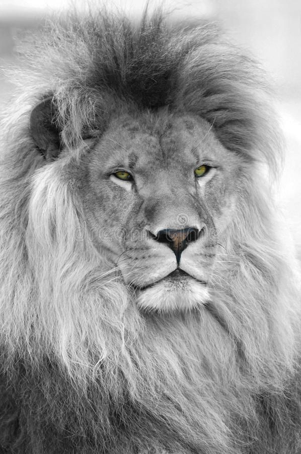 Black And White Portrait Of Lion Black And White Portrait Of An African Lion P Ad Lion African Portrait Black And White Lion Lion Poster Lion Images