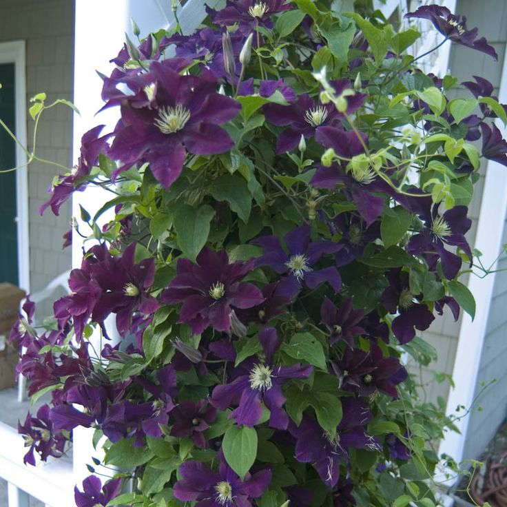 46 best images about garden vines on pinterest for Climbing flowering plants for fences