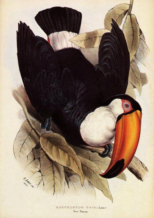 Edward Lear. Hornbill.