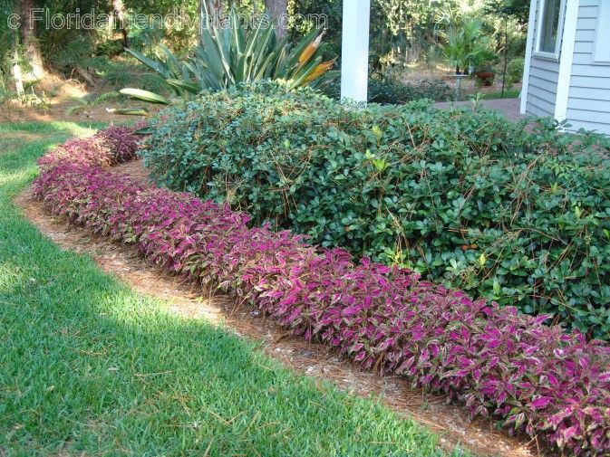 Florida friendly edging plants florida plants gardens for Low maintenance border shrubs