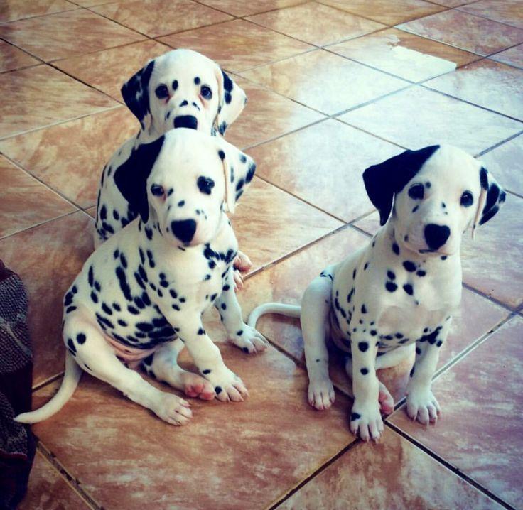Great Dalmation Chubby Adorable Dog - 908167133f914d739db546293cdedd08--pet-health-insurance-dalmatian-puppies  Graphic_19377  .jpg