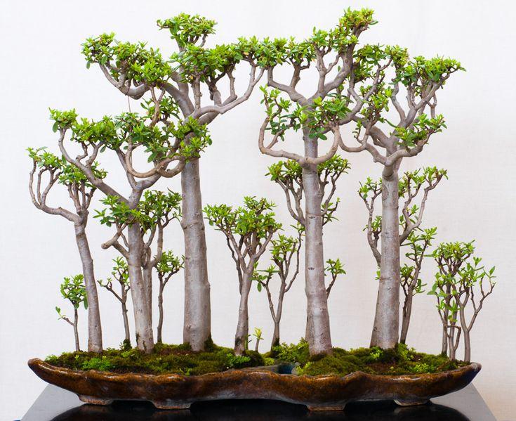 Crassula sarcocaulis als Bonsai-Wald in einer Bonsaischale