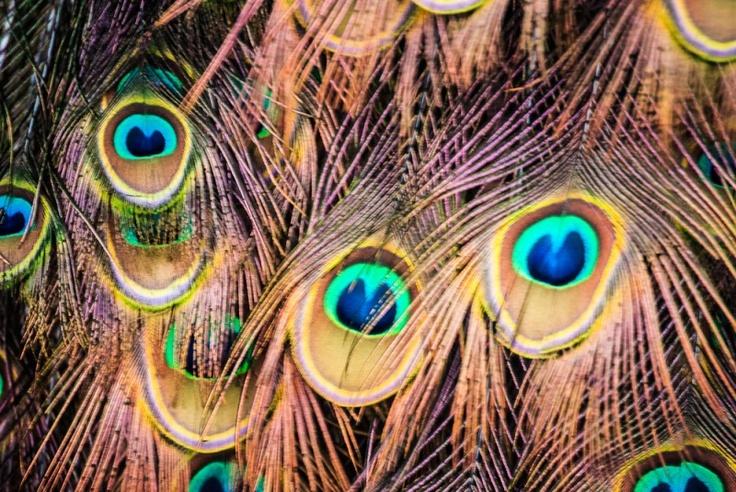 occhi di pavone