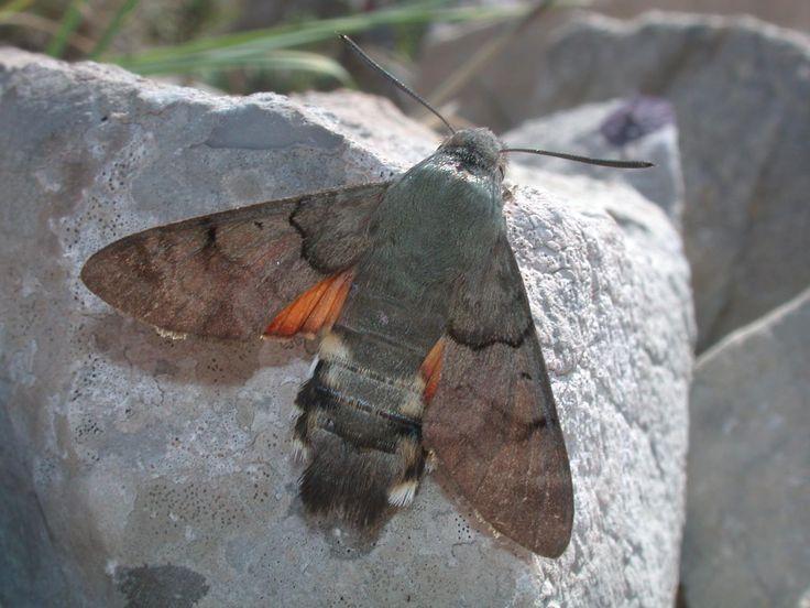 lepinet.fr - Macroglossum stellatarum - Le Moro-Sphinx, Le Sphinx du Caille-Lait