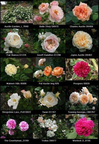 Beautiful English Tea Roses