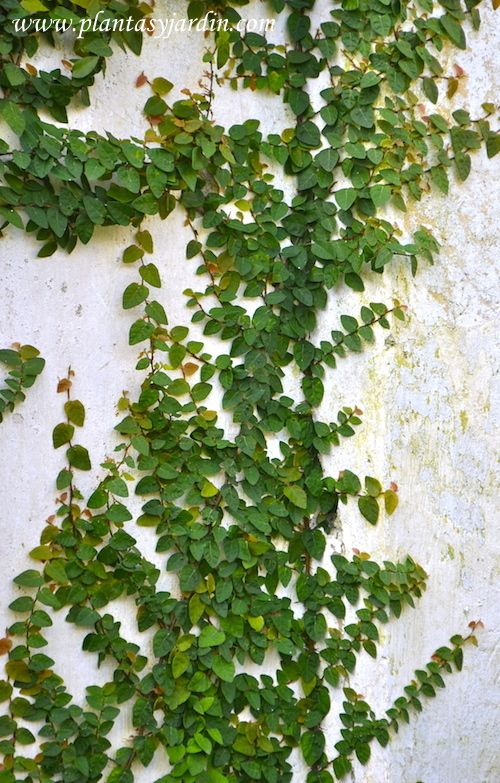 Ficus repens - a quick and easy to maintain climber for the garden walls (I don't advise letting this climb on the house thought)