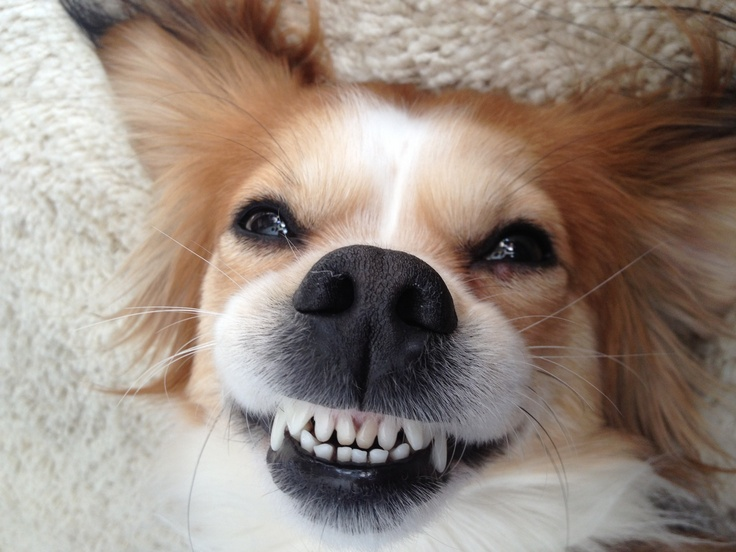 My dog with his Colgate smile Funny things Pinterest