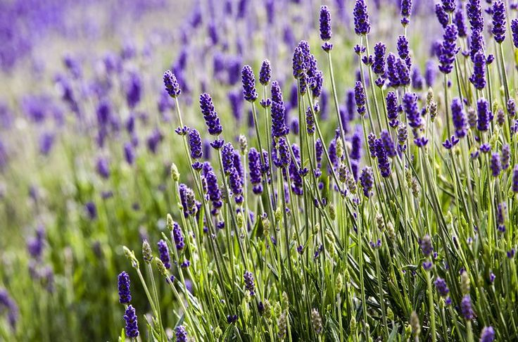 Scientists predict an uptick in mosquitoes this spring and summer. Keep them at bay by planting these flowers and plants that naturally repel mosquitoes.
